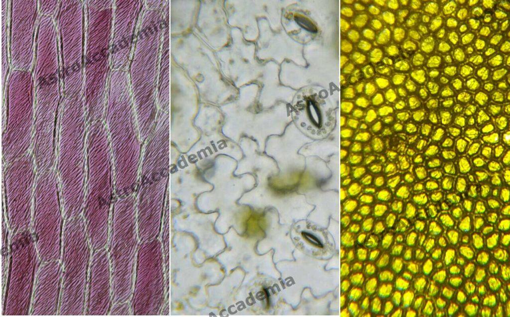 a sinistra: cellule di cipolla rossa - al centro: stomi di geranio - a destra: cellule di pomodoro
